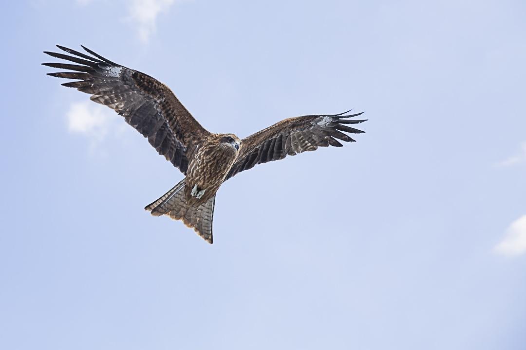 Un aigle toutes ailes déployées suivant le bateau