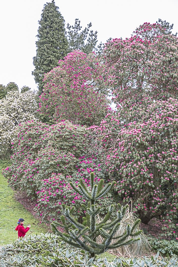 Road Trip en Cornouailles - Les rhododendrons des jardins de Heligan