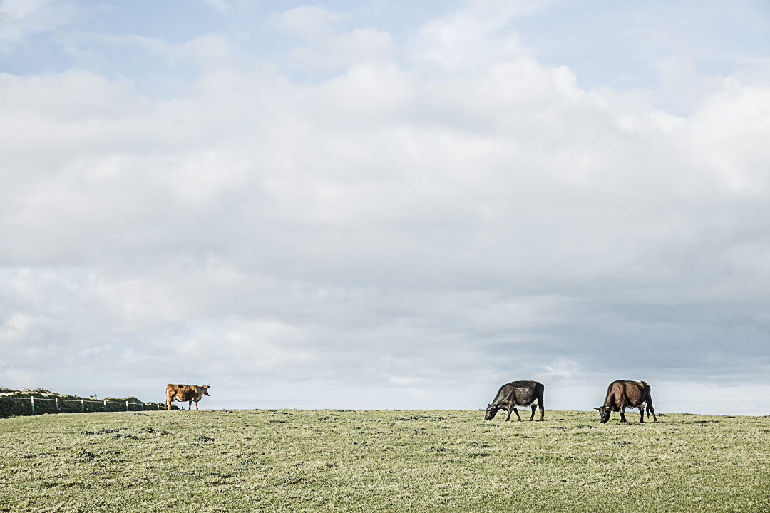 Road Trip en Cornouailles - Les vaches du Cap Lizard