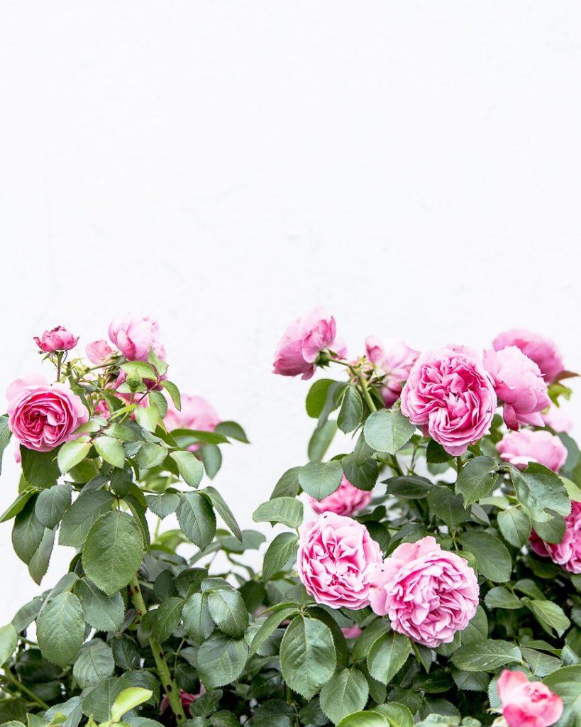 Un rosier de Putbus à Ruegen en Allemagne