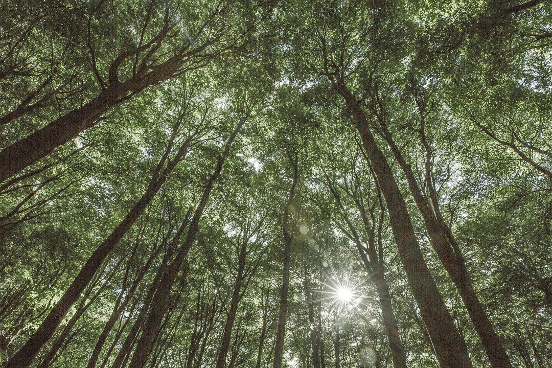 La foret de hetre du parc national de Jasmund - Ruegen, Allemagne