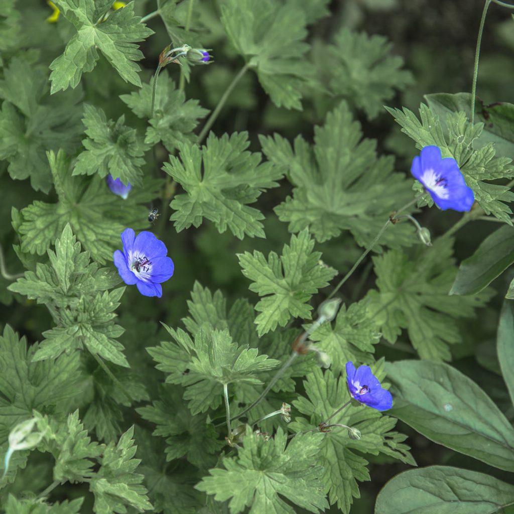 Fleurs mauves jardins de mon moulin