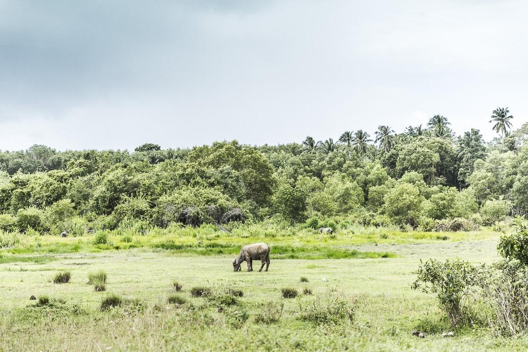 Buffle dans les prés de Koh Yai Noi - Baie de Phang Nga, Thaïlande