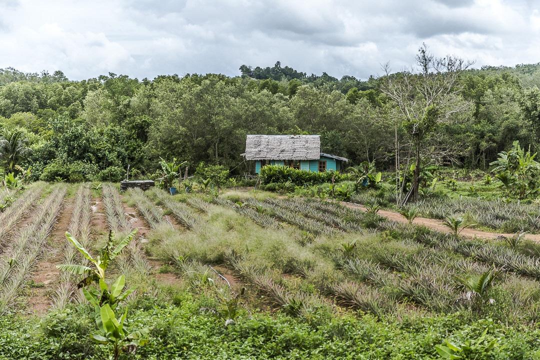 Ferme d'ananas sur Koh Yao Noi - Baie de Phang Nga, Thaïlande