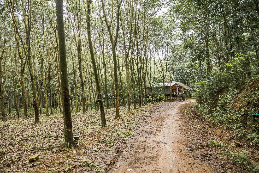 Plantations d'hévéa sur Kho Yao Noi - Baie de Phang Nga Thaïlande