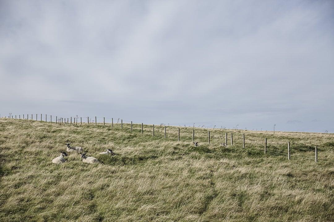 Les moutons de Duncansby Head sur la NC 500 en Ecosse