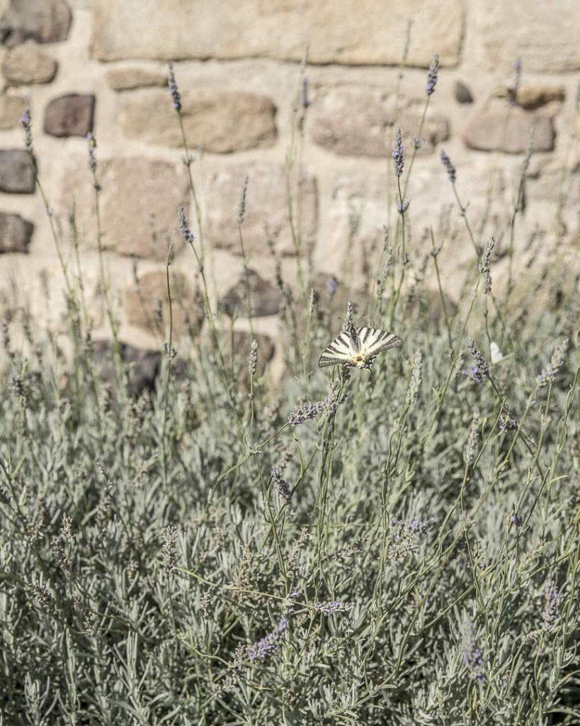 Papillon et lavandes dans le Loire - France