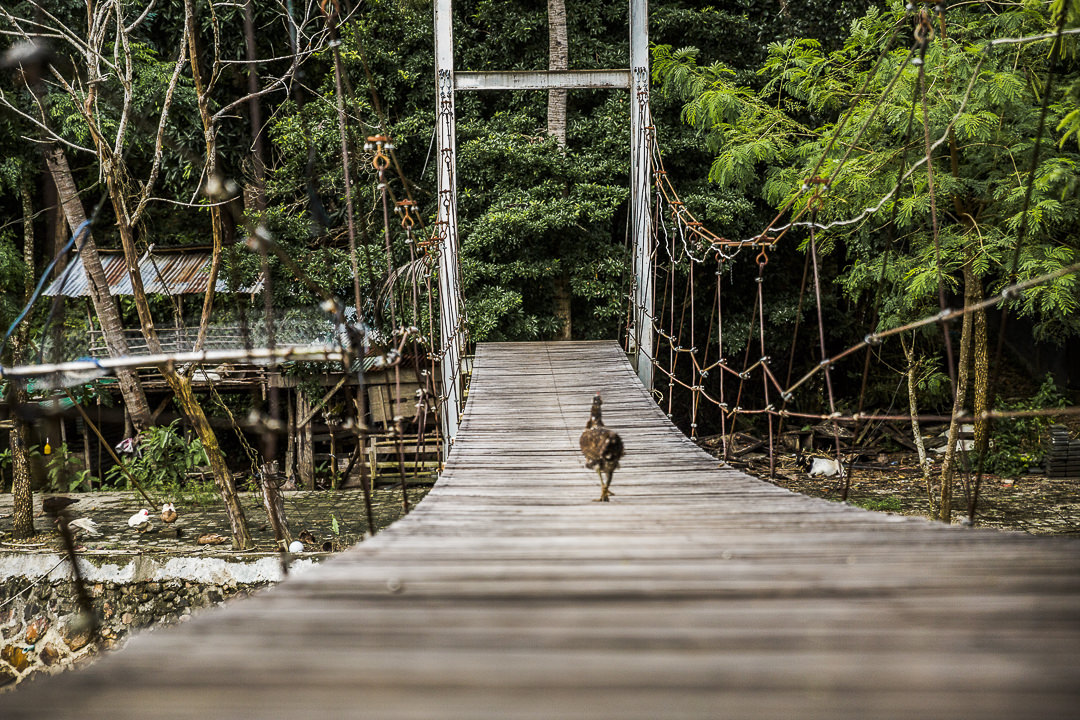 Poule qui traverse un pont sur Koh Yao Noi