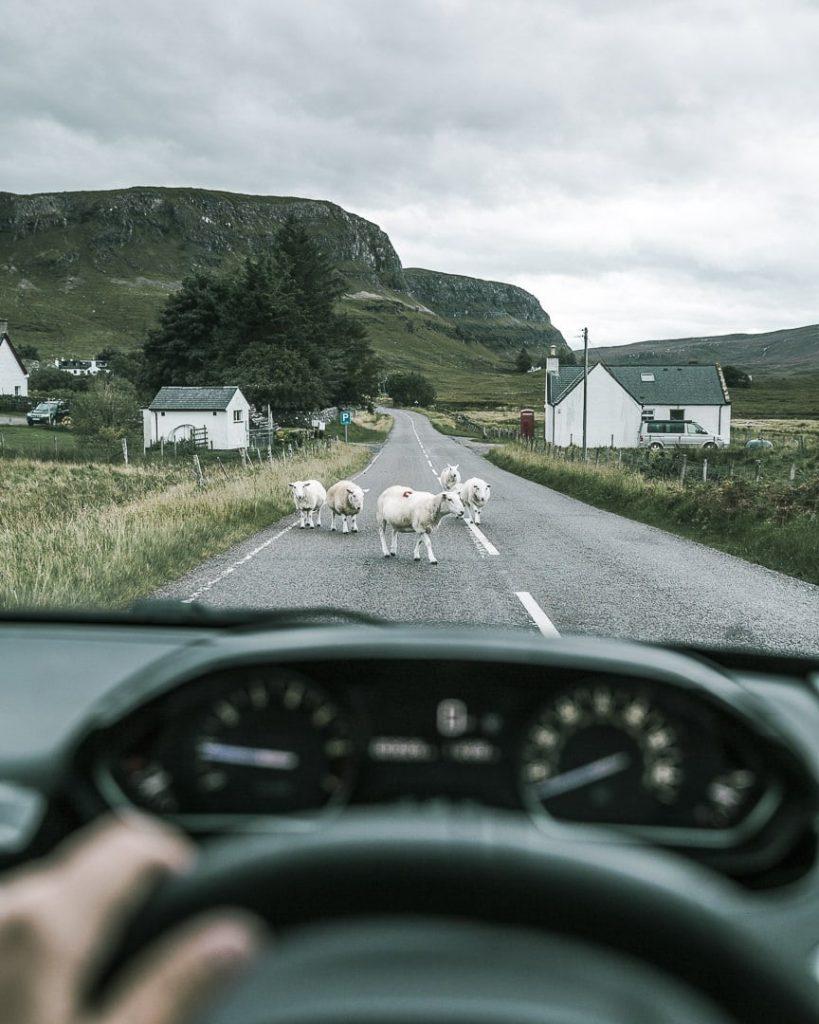 Les moutons, incontournables des routes écossaises