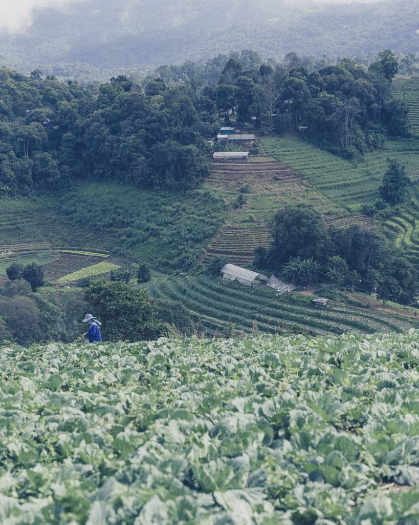 les plantations de Mon Cham au nord de Chiang Mai, Thaïlande