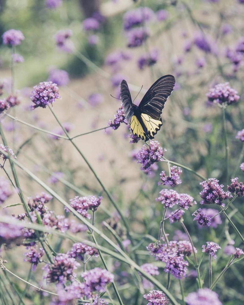 Papillon dans un champ de fleurs à Mon Cham au nord de la Thailande vers Chiang Mai