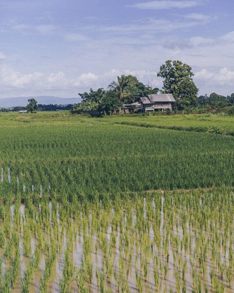 Rizières autour de Chiang Mai, à côté de la Bambuh Boutique Homestay