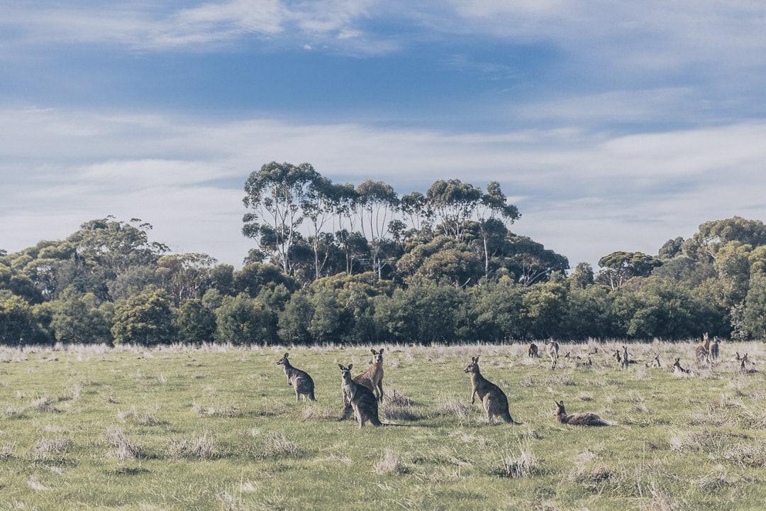 Les kangourous de Serendip sanctuary - Great Ocean Road, Australie