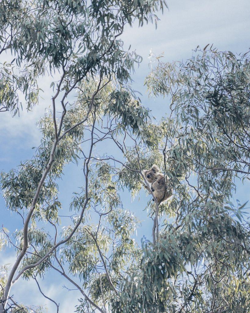 Koala de You Yangs - Great Ocean Road, Australie