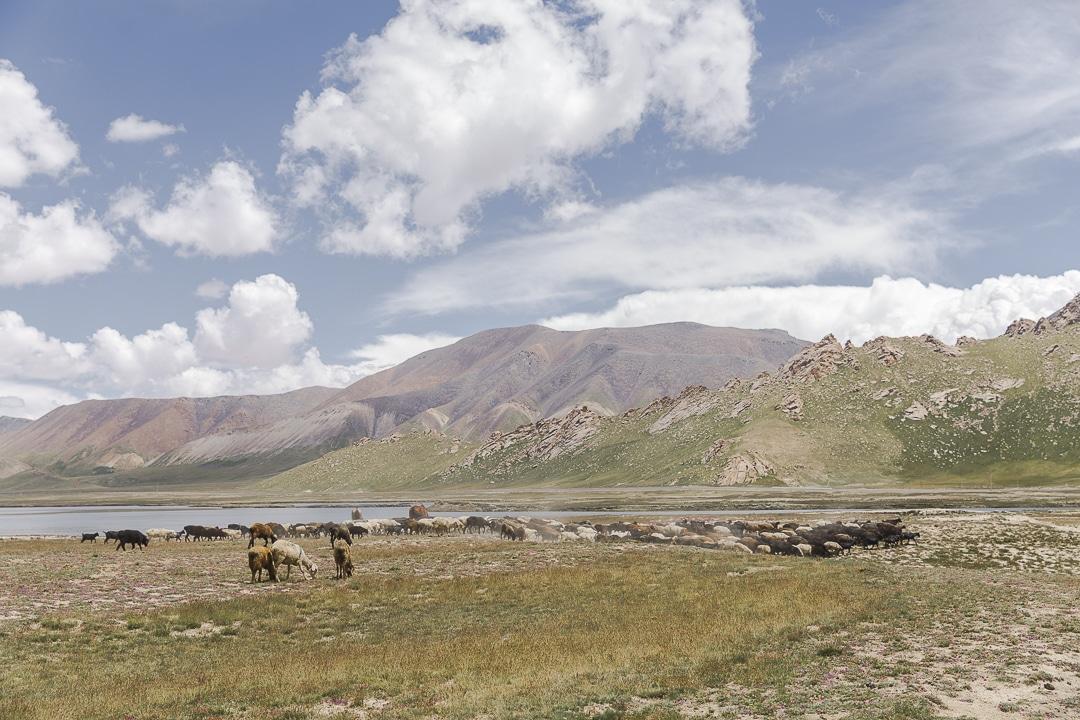 Moutons au lac Chatyr-Koul, Kirghizstan