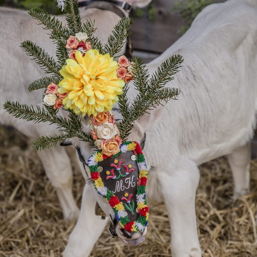 On coiffe même les petits veau pour fêter le retour des alpages du cheptel #transhumance #autriche