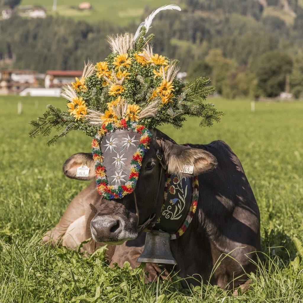 Le jour de la transhumance, les vaches sont vêtues d'une belle coiffe #transhumance #autriche