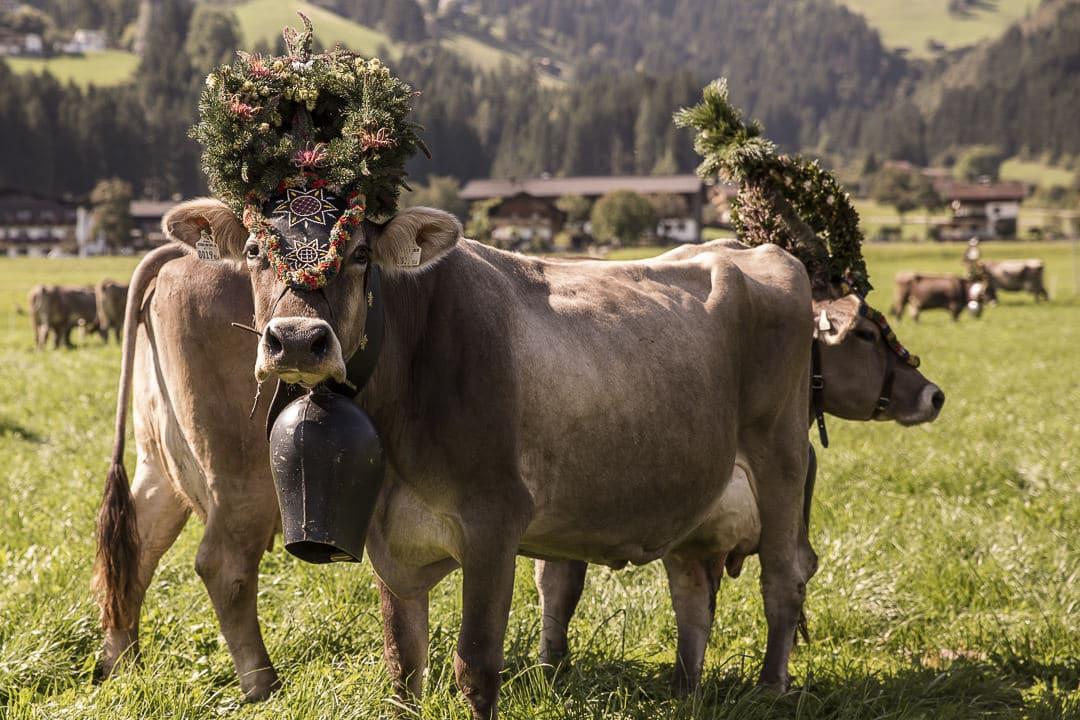Vache apprêtée un jour de transhumance en Autriche #autriche #transhumance