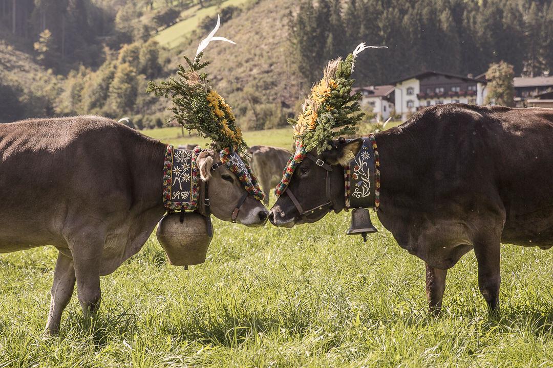 Tête à tête un jour de transhumance dans le Tirol, Autriche #transhumance #autriche