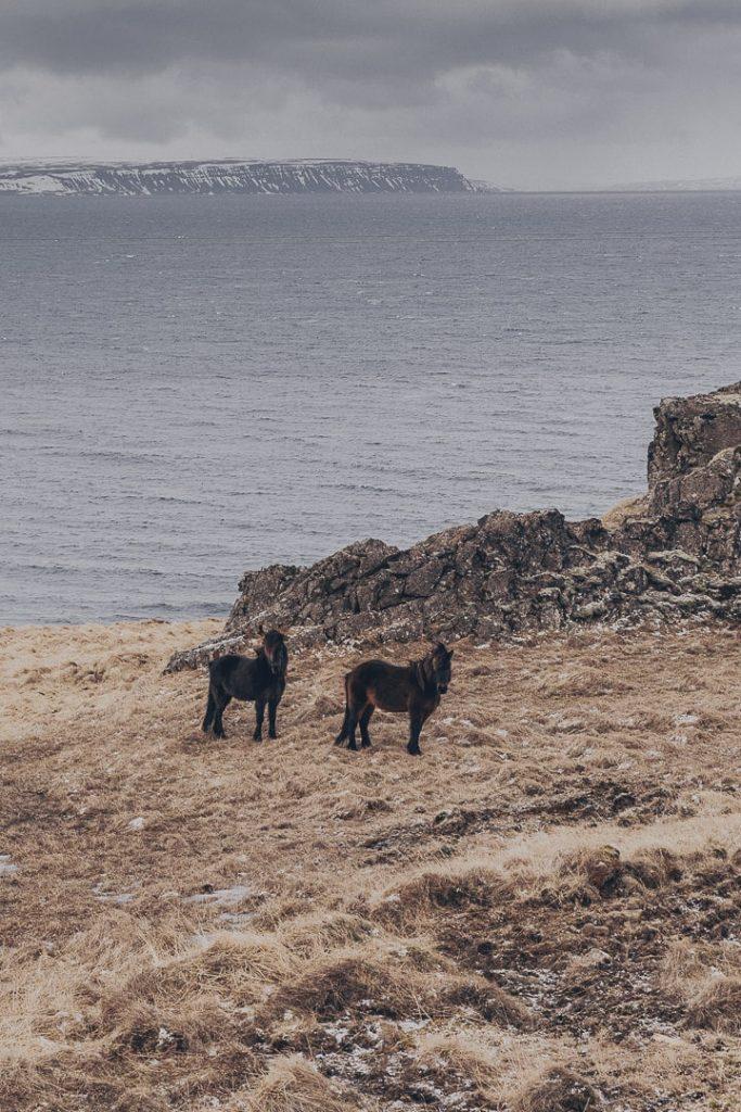 Les chevaux islandais de la péninsule de Vatsnes #islande #vatsnes