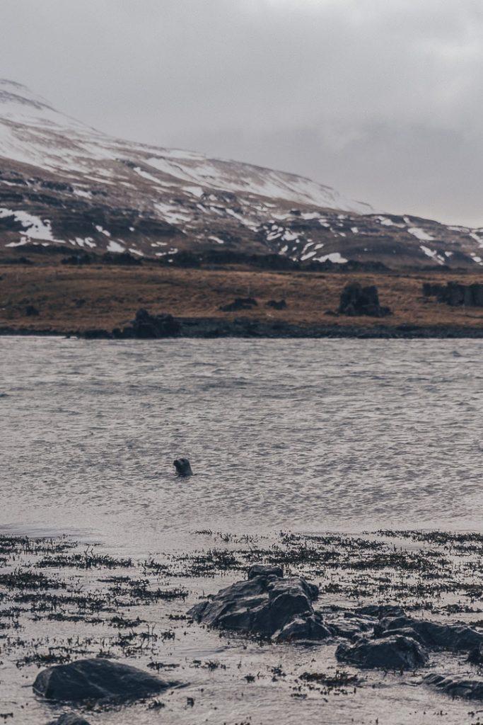 Phoques de la péninsule de Vatnsnes #islande #Vatnsnes