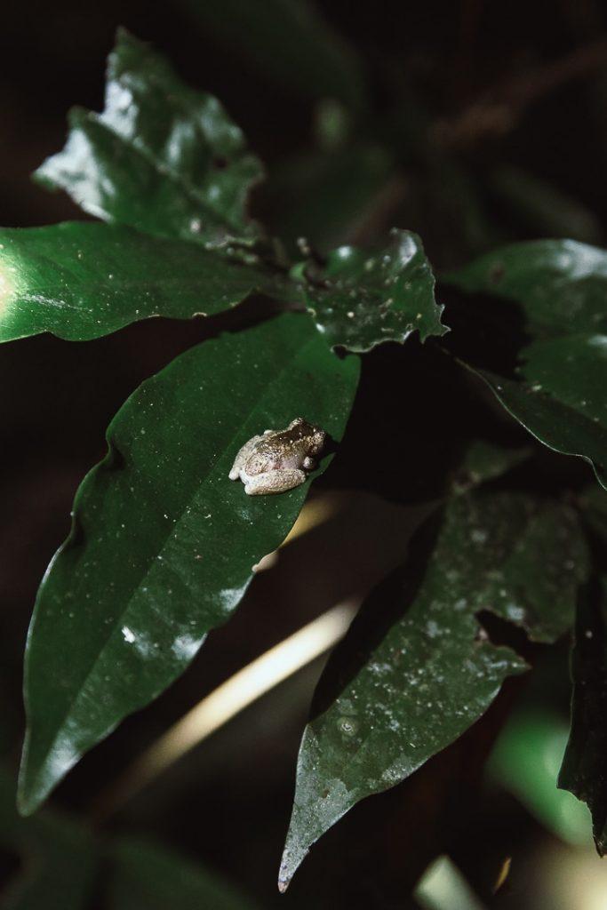 Petite grenouille vue de nuit dans la forêt de Daintree