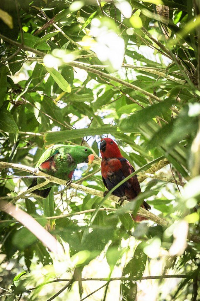 Couple de perroquet du centre de découverte de la forêt de Daintree #queensland #australie