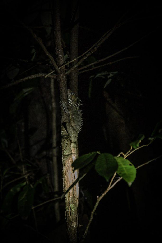 Lézard dans la forêt de Daintree en Australie