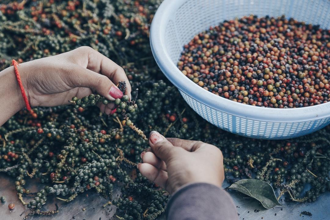 Tri des grains de poivre de Kampot à la Plantation - Cambodge