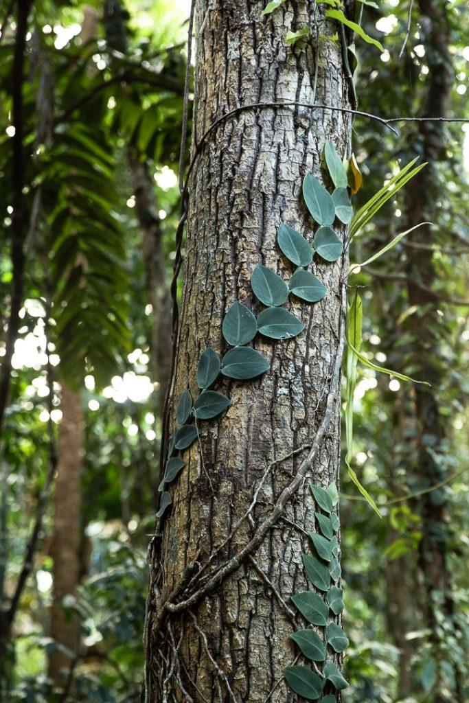 Végétation dans la forêt de Daintree #queensland #australie