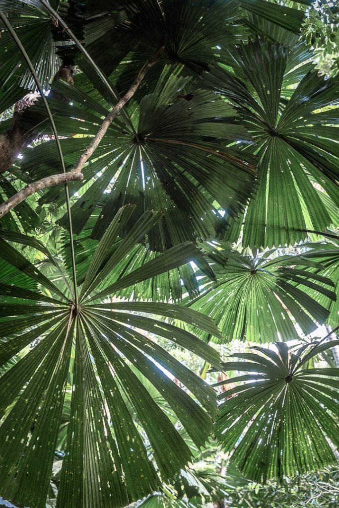 Ombrelle naturelle dans la forêt de Daintree #queensland #australie