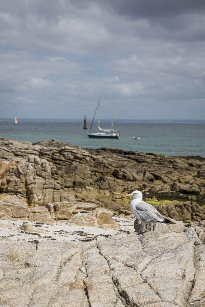 le goélan, compagnon de pique-nique dans l'archipel des Glénan