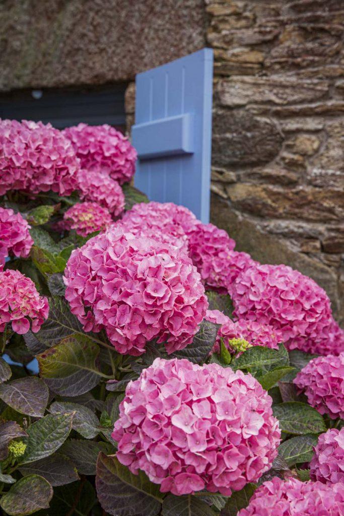 Les hortensias fleuris en été en Bretagne